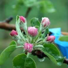 apple blossom - late pink
