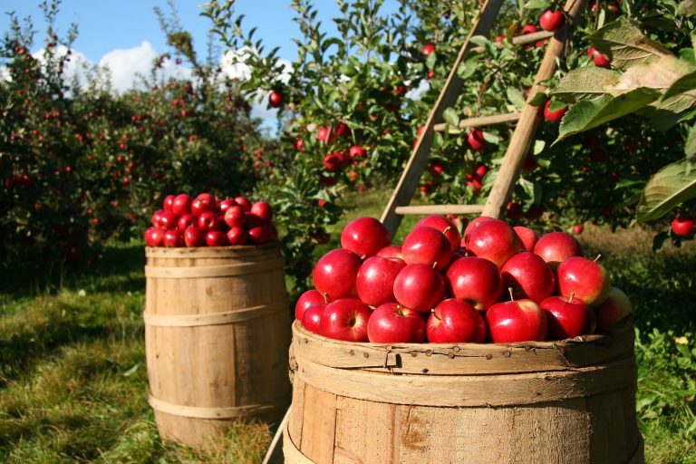 apple orchard - harvest with barrels of red apples and ladder up a tree